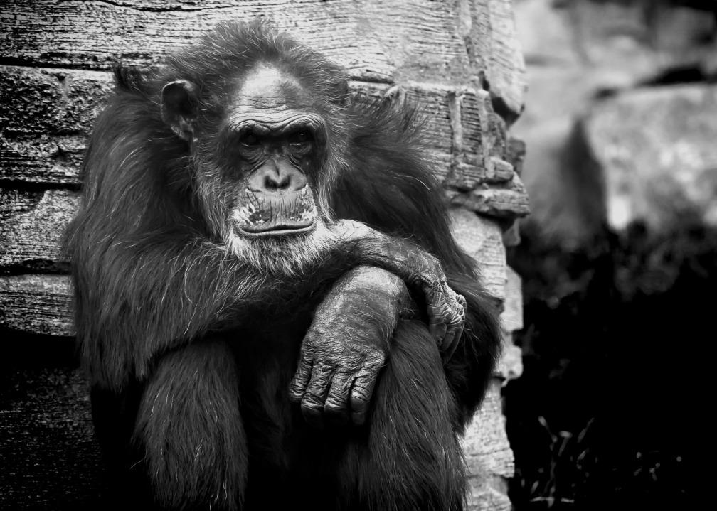 monkey-823047_1920